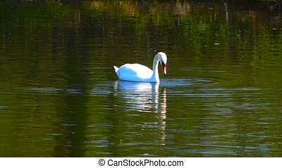 Slow motion white swan on the lake