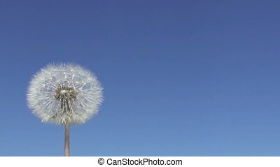 Slow motion ,Wind blows off fuzzes with seeds from a white...