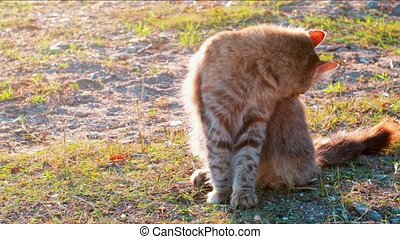 Slow motion young tabby cat cleaning its dorsal carefully on...