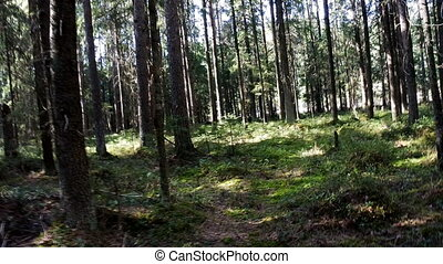 Slow penetration into forest - In coniferous forest.. Camera...