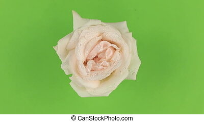 Slow rotation of a pink rose on a green background, keying