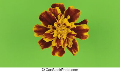 Slow rotation of a yellow flower on a green background, keying