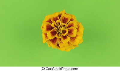 Slow rotation of a yellow flower on a green background, keying.