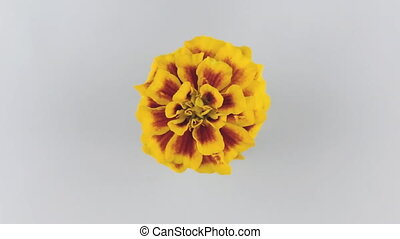 Slow rotation yellow flower on a white background.