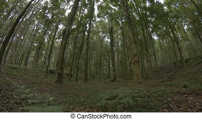 """Slow, upward tilting shot of tall trees in a wooded area. Ungraded Raw footage"""