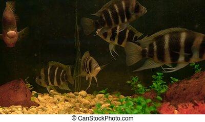 Slowly floating fish swim in the aquarium - Slow calm fish...