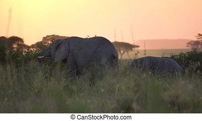 Slowmotion of Elephants Eating In Twilight of African Savanna