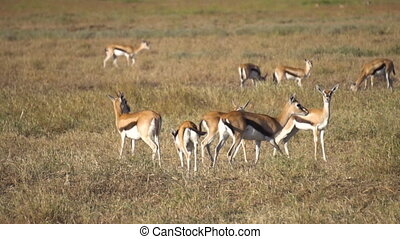 Slowmotion of Impala Antelope Herd. Gazelle in Meadow of African Savanna
