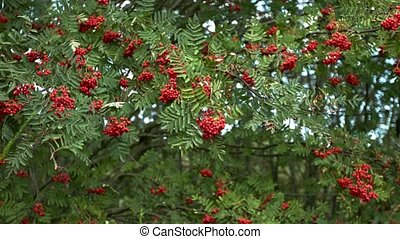 Slowmotion of mountain ash - Mountain ash with red berries ...