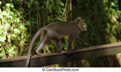 slowmotion shot of a group of a wild macaque monkeys in a...