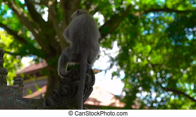 Slowmotion shot of a Macaque monkey sitting on the wall of...