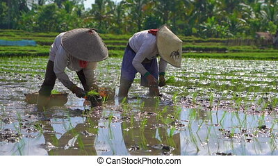 slowmotion shot of two undefined women planting rice seedlings on a big field surrounded with palm trees. rice cultivation concept. Travel to Asia concept