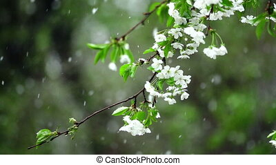 slowmotion snow on the blossoming cherry trees falls