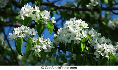 tree - slowmotion tree flowers pear