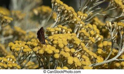 slowmotion, van, de, blackleg, tortoiseshell, of, groot, tortoiseshell, (nymphalis, xanthomelas), een, vlinder, van, de, gezin, nymphalidae, op, een, kerrie, plant