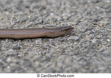 Slowworm aka slow worm or blindworm, Anguis fragilis, face profile with tongue out. A reptile native to Eurasia. Aka a deaf adder.