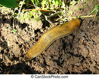 Slug creeping on the ground