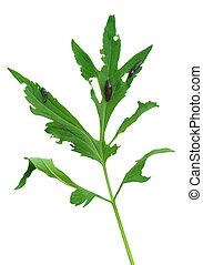 Slug damage of Rudbeckia laciniata leaf