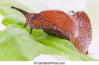 slug on a lettuce leaf
