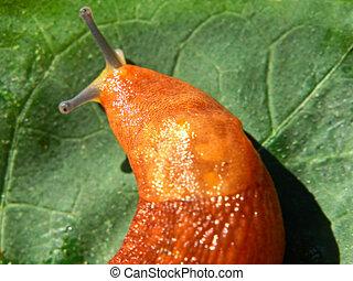 Slug on green leaf.