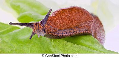 A slug crawls slowly on a lettuce leaf
