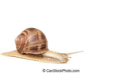 Slug time lapse - Snail crawling on the white background