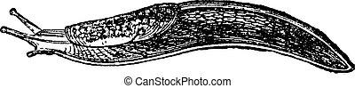 Slug, vintage engraving.