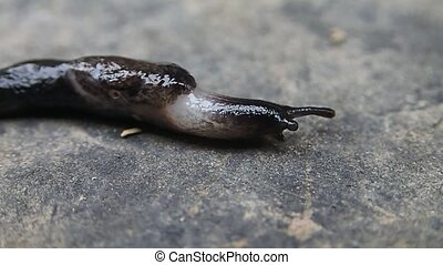 Slug walking - A slug walking