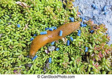 slug with slug pellet - a nudibranch in the garden is fought...