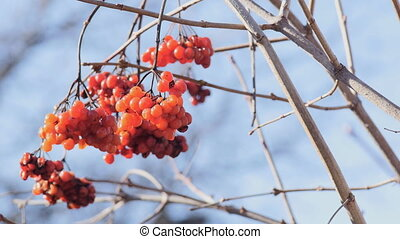 Sluggish bunches of red viburnum on the bare branches. After...