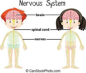 sluha, děvče, systém, nervový