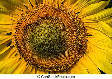 slunečnice, closeup, s, pracovní skupina