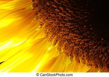 slunečnice, detail, close-up., backlit, macro., mělký, dof