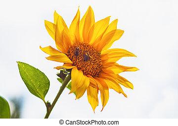 slunečnice, květ, opylit, pracovní skupina