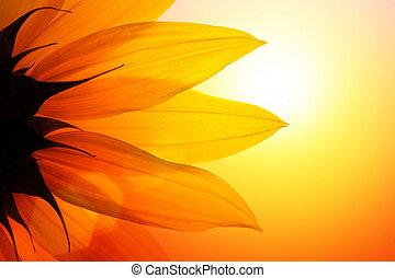 slunečnice