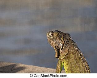 slunit se, iguana, nezkušený, ozdobit iniciálkami, ráno