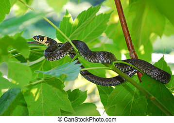 Small adder is an ambush in the bushes