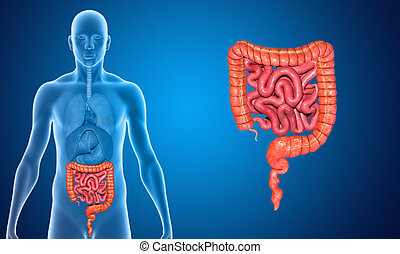 Small and large intestine - The human gastrointestinal tract...