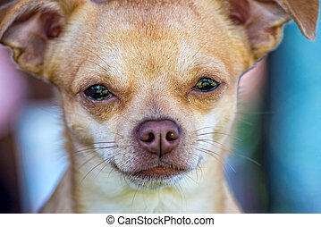 Small and young Chihuahua in the portrait - A small and...