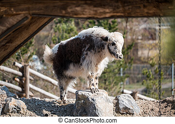 Small and young goat standing on a rock - A small and young...