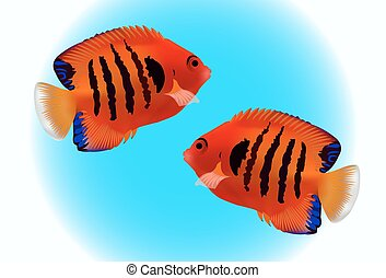 SMALL ANGELFISH on blue background