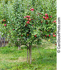 Small apple tree in a garden