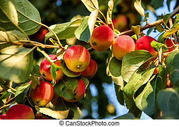 Small apples grow on a branch in the garden