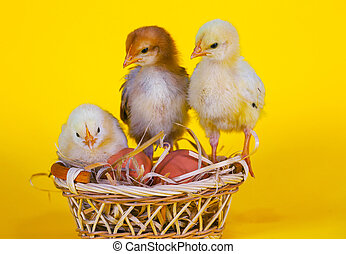 Small baby chickens with Easter eggs