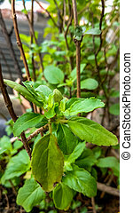 Small Basil Plant with green leaves closeup