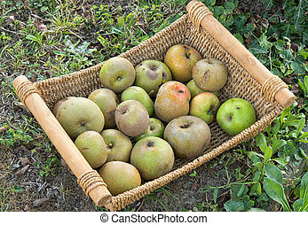 Small basket of apples in the garden