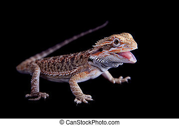Small bearded dragon isolated on black - Small bearded ...