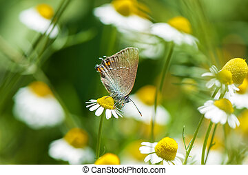 Small beautiful butterfly on camomile flower