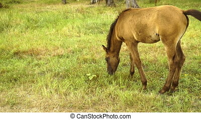 small beautiful foal eats grass on the street