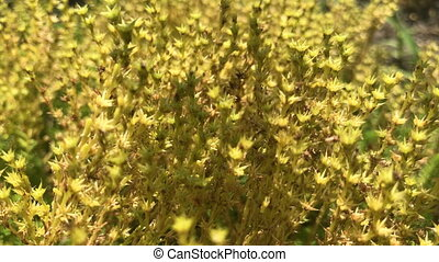 small beautiful yellow Bush with flowers
